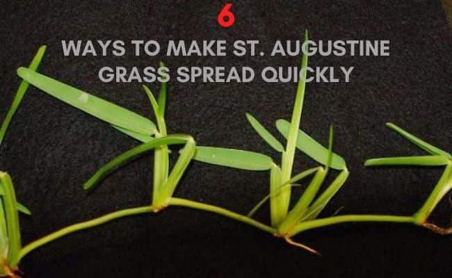How to make st augustine grass spread - and grow thick stolons