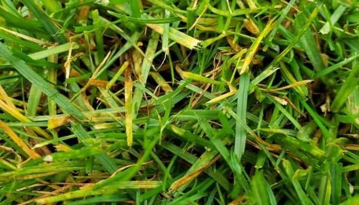 Grass Turning Yellow – Causes + Fixes to Turn it Green
