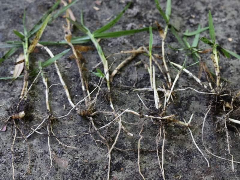Rhizome grass