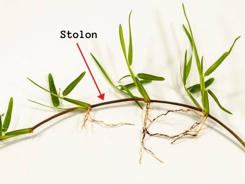 Stolon grass