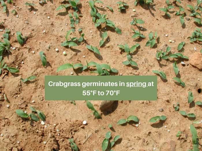 When does crabgrass germinate-spring temperature