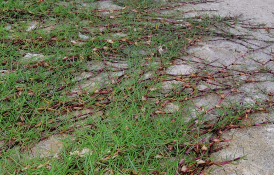 Bermuda grass spreads through stolons and rhizomes