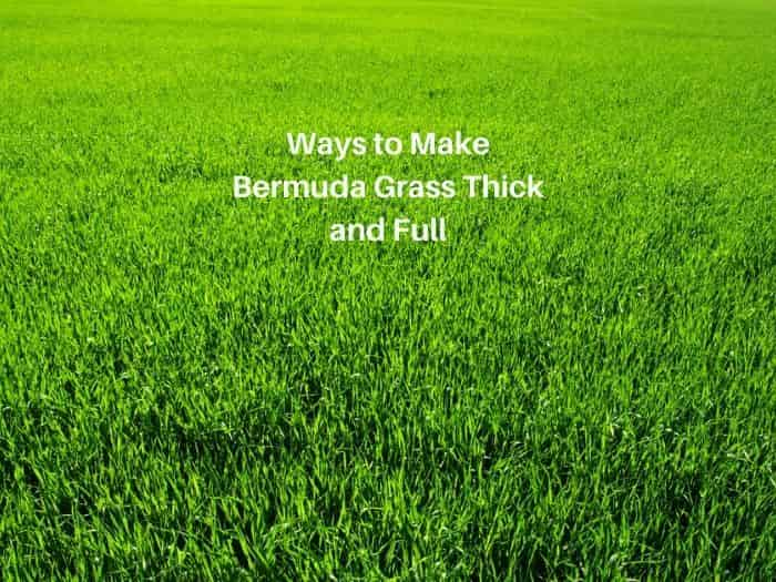 How to Make Bermuda Grass Thicker and Greener