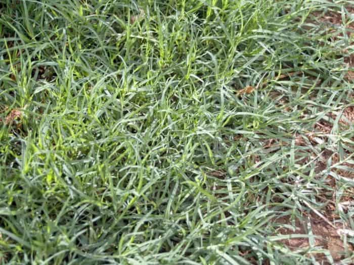 How to get bermuda grass to spread faster and fill in