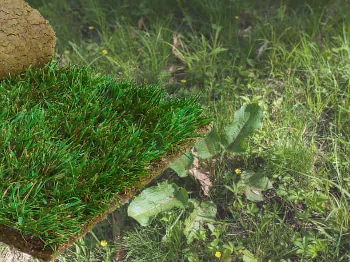 Can you lay sod over weeds-in lawn