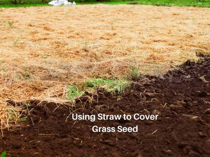 Should you cover grass seed with straw - how much