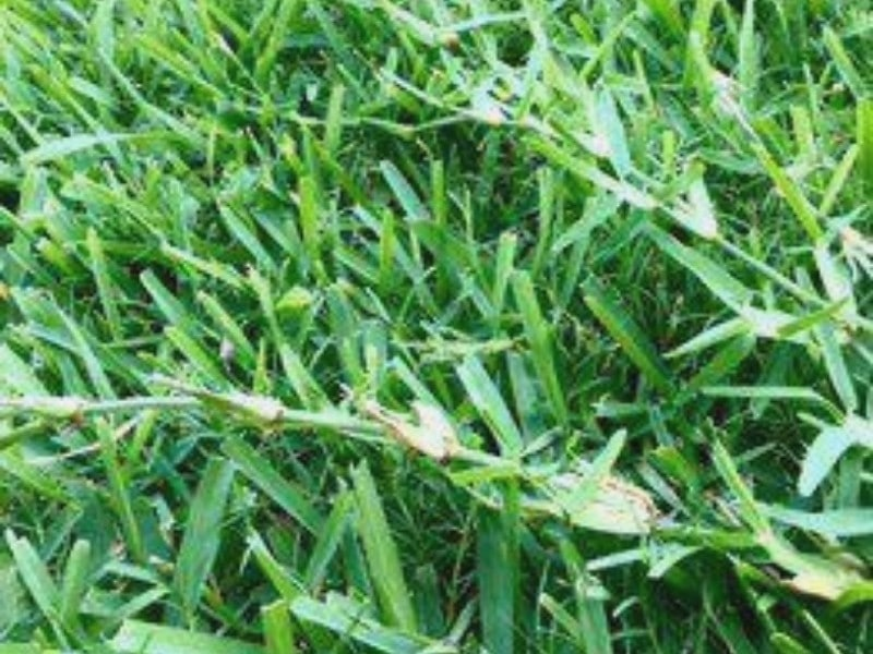 St. Augustine grass runners