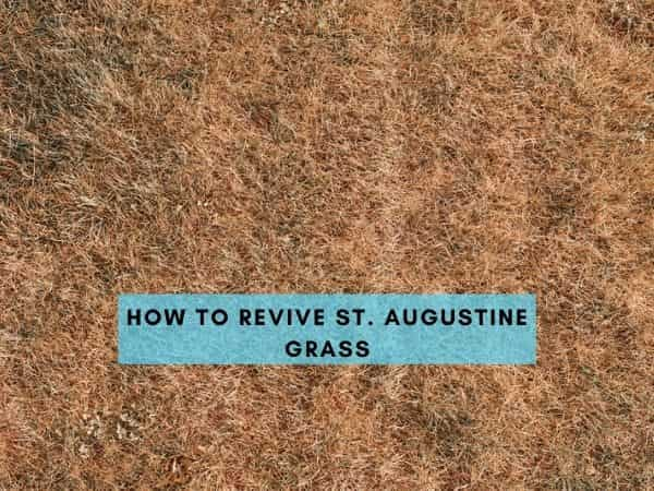 How to Revive St. Augustine Grass and Get it to Grow Back