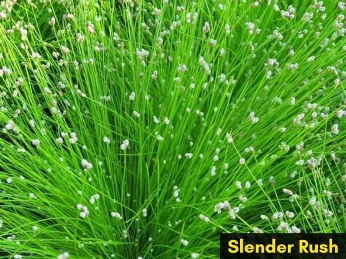 Slender rush invasive grassy weed