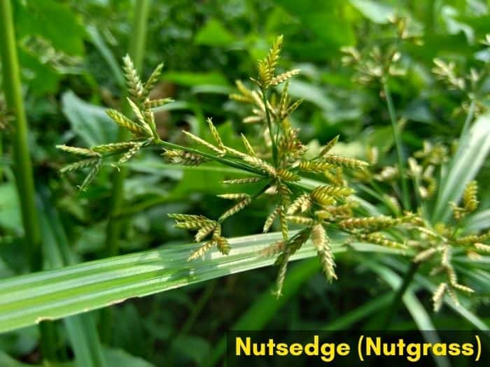 Weeds that look like grass - nutsedge, nutgrass