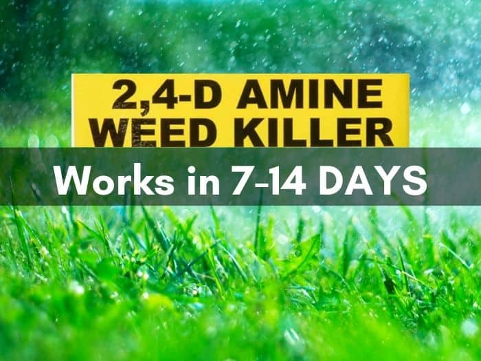how long does 2,4-D take to work