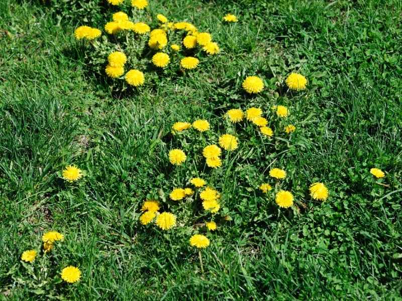 Overseeding a lawn with weeds